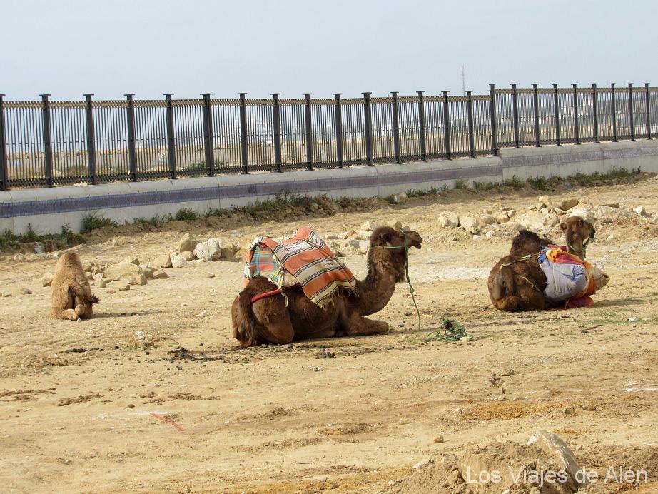 Camellos en Asilah