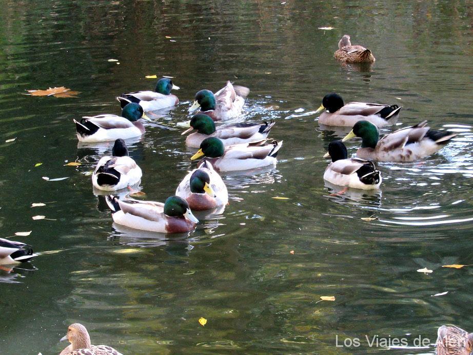 patos en el río Eresma