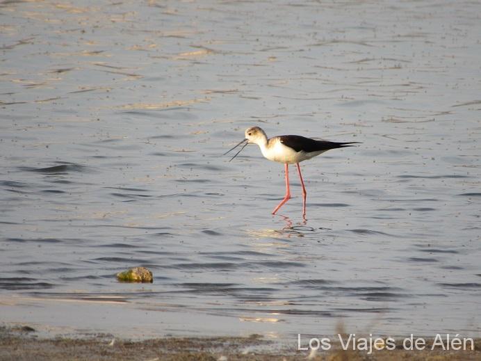 """Cigüeñuela, Otro De Los Habitantes De """"las Salinas"""""""
